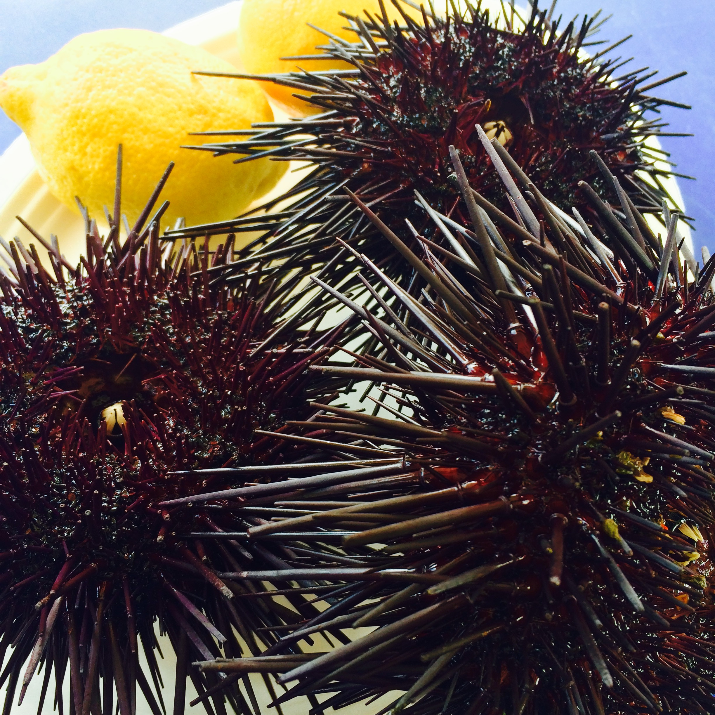 Santa Barbara Sea Urchin